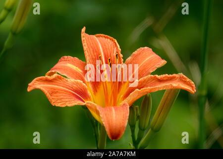 Orange Daylily Flower in Bloom in Summer - Stock Photo