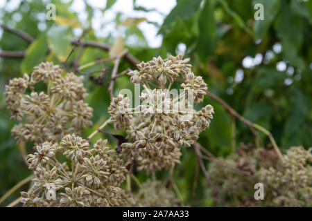 Parsley Tree Fruits in Winter - Stock Photo