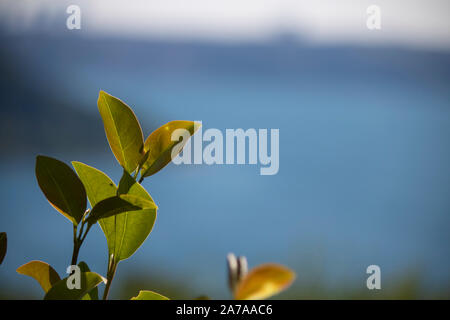Young leaves of Avicennia marina in a mangrove forest - Stock Photo