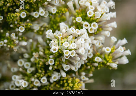 Pichi Flowers in Bloom in Springtime - Stock Photo