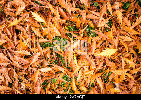 A golden brown carpet of fallen leaves from a cut-leaf beech tree in an English garden in early November - Stock Photo