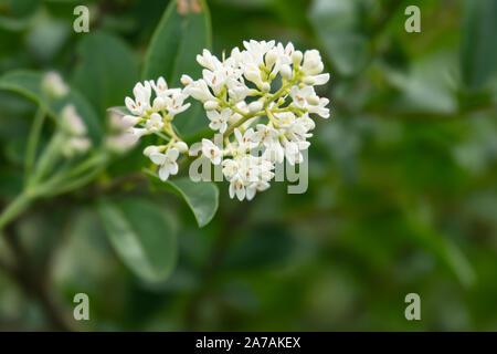 Privet Flowers in Bloom in Springtime - Stock Photo