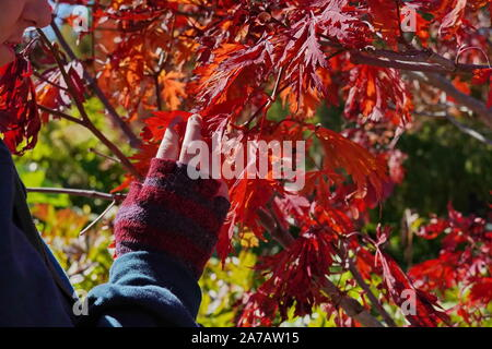 Boothbay, ME / USA - October 19, 2019: Hand wearing fingerless gloves gingerly touches the brightly colored fall foliage - Stock Photo