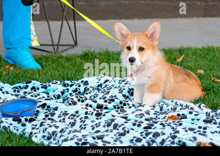 Welsh Corgi Cardigan puppy on a leash lying on a blanket, on green grass. Welsh Corgi dog at the feet of his master. - Stock Photo