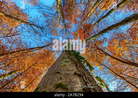 Looking upwards a tree in autumn forest - Stock Photo