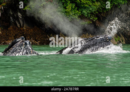 Two humpback whale lunge feeding in the green glacier feed water of Knight Inlet, First Nations Territory, Great Bear Rainforest, British Columbia, Ca - Stock Photo