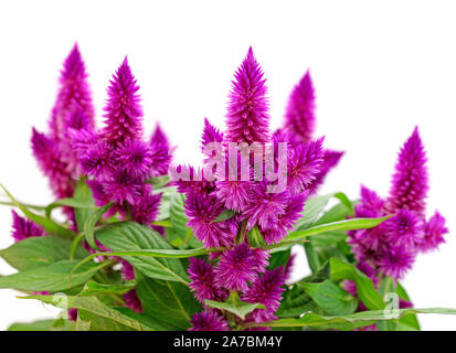Brandschopf, Celosia spicata, in front of white background - Stock Photo