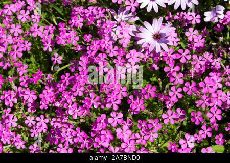 Silene dioica Melandrium rubrum ,red or deep pink flowered campion, a herbaceous flowering plant  family Caryophyllaceae, biennial or perennial plants. - Stock Photo