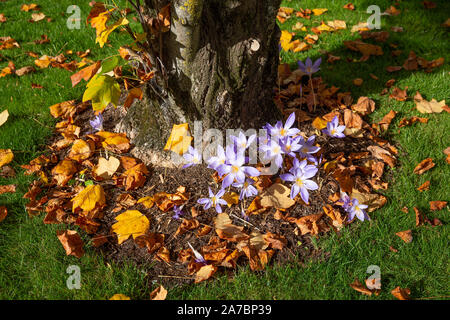 Blooming autumn crocuses in a garden at a tulip tree trunk - Stock Photo