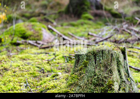 Old weathered moss grown tree stump on a mossy ground in a coniferous forest - Stock Photo