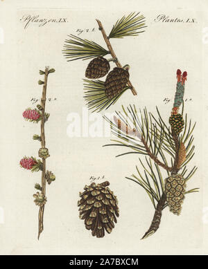 Scots pine tree, Pinus sylvestris, flower 1a and cone 1b, and common European larch tree, Larix decidua, flower 2a and cone 2b. Handcoloured copperplate engraving from Bertuch's 'Bilderbuch fur Kinder' (Picture Book for Children), Weimar, 1798. Friedrich Johann Bertuch (1747-1822) was a German publisher and man of arts most famous for his 12-volume encyclopedia for children illustrated with 1,200 engraved plates on natural history, science, costume, mythology, etc., published from 1790-1830. - Stock Photo