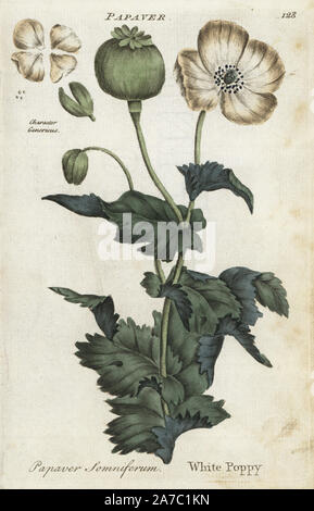 White opium poppy, Papaver somniferum. Handcoloured botanical copperplate engraving by an unknown artist from 'Culpeper's English Family Physician; or Medical Herbal Enlarged, with Several Hundred Additional Plants, Principally from Sir John Hill,' by Joshua Hamilton, London, W. Locke, 1792. - Stock Photo
