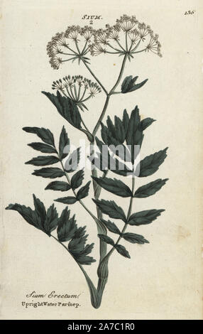 Upright or cutleaf water parsnip, Berula erecta. Handcoloured botanical copperplate engraving by an unknown artist from 'Culpeper's English Family Physician; or Medical Herbal Enlarged, with Several Hundred Additional Plants, Principally from Sir John Hill,' by Joshua Hamilton, London, W. Locke, 1792. - Stock Photo