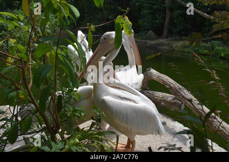 three American white pelicans besides Broadleaf one of them is preening, other is flapping and last one is standing besides water entity - Stock Photo