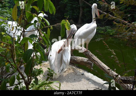 three American white pelicans besides Broadleaf one of them is preening, other is flapping and the last one is standing besides water entity - Stock Photo