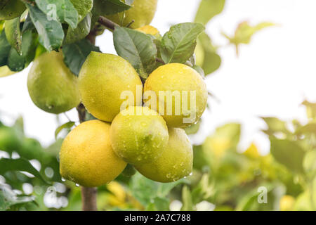 Ripening fruits lemon tree close up. Fresh green lemon limes with water drops hanging on tree branch in organic garden - Stock Photo