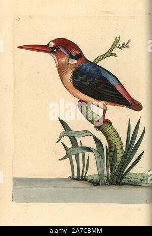 Black-backed or Oriental dwarf kingfisher, Ceyx erithaca. Illustration drawn by George Shaw. Handcolored copperplate engraving from George Shaw and Frederick Nodder's 'The Naturalist's Miscellany,' London, 1797. Most of the 1,064 illustrations of animals, birds, insects, crustaceans, fishes, marine life and microscopic creatures were drawn by George Shaw, Frederick Nodder and Richard Nodder, and engraved and published by the Nodder family. Frederick drew and engraved many of the copperplates until his death around 1800, and son Richard (17741823) was responsible for the plates signed RN or RP - Stock Photo