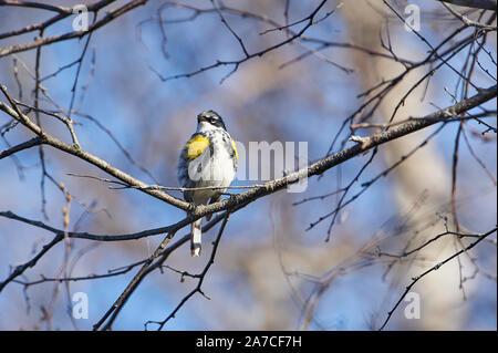 Yellow-rumped warbler (Setophaga coronata) AKA Myrtle Warbler, perched in a tree, Annapolis Royal Marsh, French Basin trail, Annapolis Royal, Nova Sco - Stock Photo