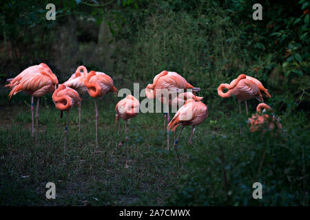 Flamingo birds in a group resting out of the water with a nice green foliage background in their environment and surrounding. - Stock Photo