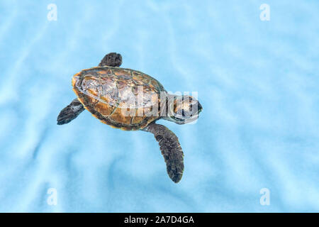 Cute baby Hawksbill turtle - Stock Photo