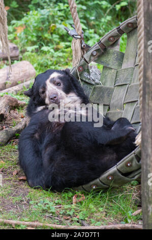 Spectacled bear a.k.a. Andean short-faced bear ( Tremarctos ornatus ) relaxing in broken swing - Stock Photo