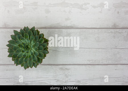Top View of Beautiful Green Succulent Plant on a Rustic White Wooden Table - Stock Photo