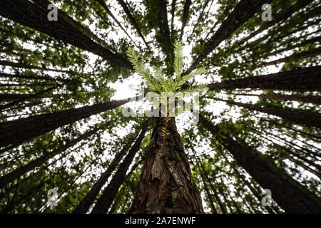 Tree of life: New growth on the trunk of a Redwood tree in the Redwood forest just outside Melbourne Australia.