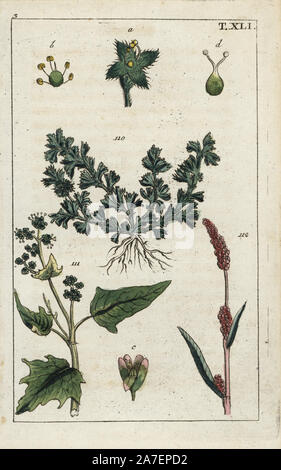 Field parsley piert, Aphanes arvensis 110, maple-leaved goosefoot, Chenopodium hybridum 111, and spotted ladysthumb, Polygonum persicaris 112. Handcolored copperplate engraving of a botanical illustration from G. T. Wilhelm's 'Unterhaltungen aus der Naturgeschichte' (Encyclopedia of Natural History), Augsburg, 1811. Gottlieb Tobias Wilhelm (1758-1811) was a clergyman and naturalist in Augsburg, Bavaria. - Stock Photo