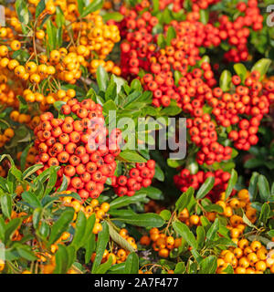 Fruits from the firethorn, pyracantha - Stock Photo