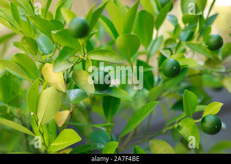 Limes grow on Citrus Lime Tree - Stock Photo