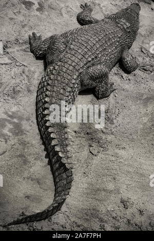 A large crocodile swamp sun baking and resting on the sand - Stock Photo