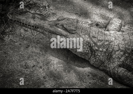 A freshwater crocodile resting on the sand under the small tree - Stock Photo