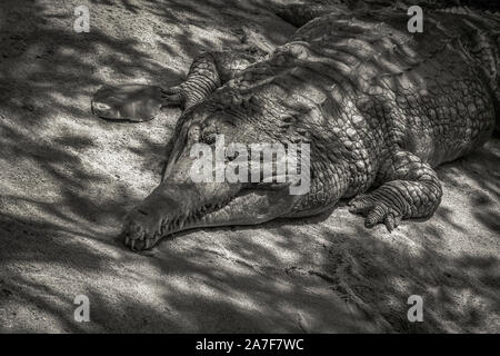 A large freshwater crocodile resting on the sand under the small tree - Stock Photo