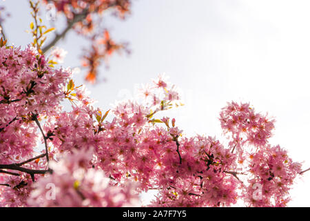 Pink cherry tree flower blossoms. Close up. - Stock Photo