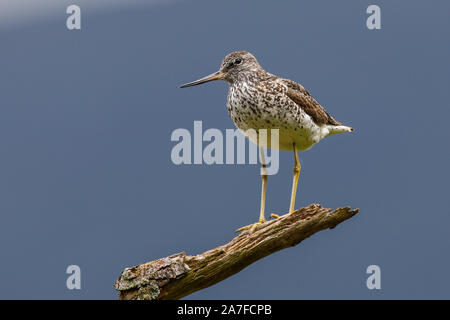 Common Greenshank, Tringa nebularia - Stock Photo
