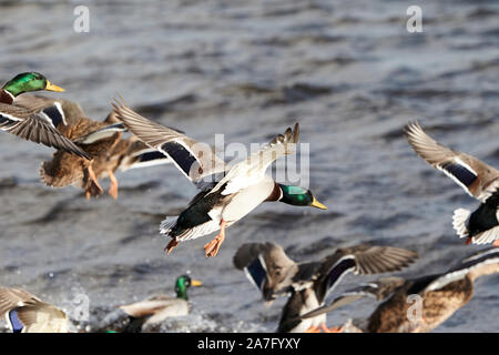 flock of male and female mallard ducks coming in to land on water ballyronan lough neagh County Derry Northern Ireland - Stock Photo