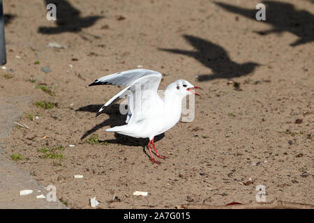 single black-headed gull with winter plumage on sandy beach on the shores of ballyronan lough neagh County Derry Northern Ireland - Stock Photo