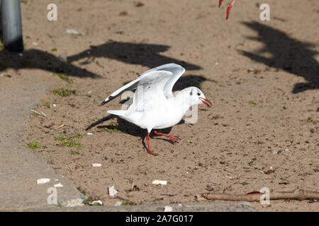 single black-headed gull with winter plumage eating bread on sandy beach on the shores of ballyronan lough neagh County Derry Northern Ireland - Stock Photo