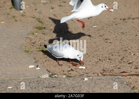 black-headed gulls with winter plumage taking bread on sandy beach on the shores of ballyronan lough neagh County Derry Northern Ireland - Stock Photo