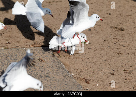 black-headed gulls with winter plumage fighting over pieces of bread left on sandy beach on the shores of ballyronan lough neagh County Derry Northe - Stock Photo
