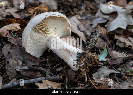Close up of a wild mushroom showing its white gills on the forest floor in Autumn, UK - Stock Photo