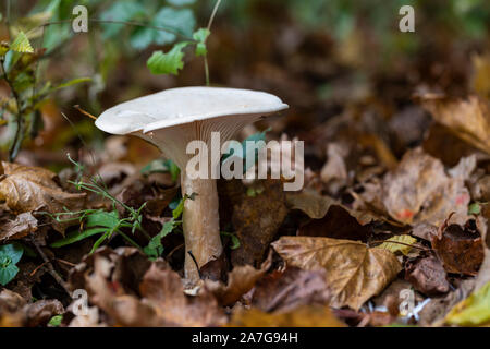 Close up a wild trooping funnel mushroom on the forest floor in Autumn, UK - Stock Photo