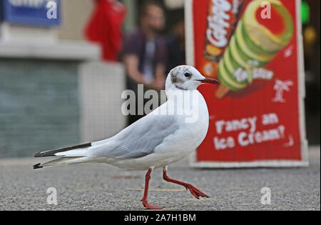 A Gull walking past an ice cream poster - Stock Photo