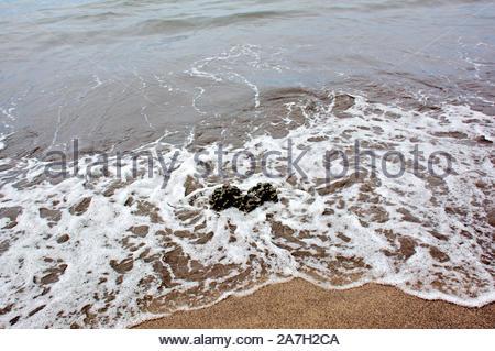 Piece of coral rock washed ashore along the sandy beach of Lahaina Maui Hawaii - Stock Photo