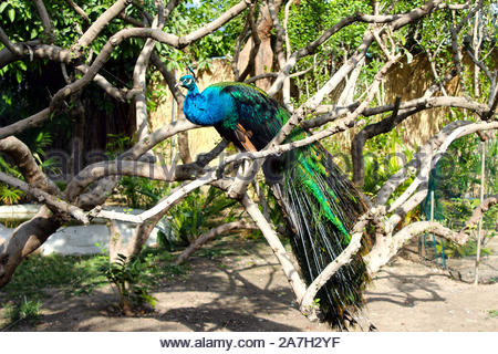 Beautiful Pose Of A Peacock Bird Sitting On A Tree Branch - Stock Photo