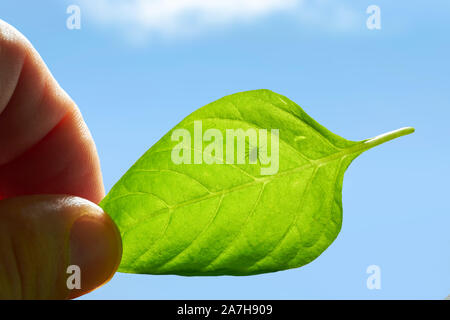 Dangerous insect on human skin. Mite hid on the leaf of the plant, encyphalitis mite. tick protection concept. Stock Photo