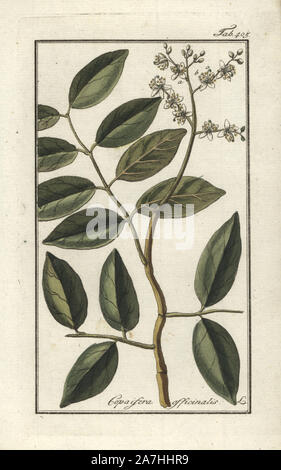 Copaiba tree, Copaifera officinalis. Handcoloured copperplate botanical engraving from Johannes Zorn's 'Afbeelding der Artseny-Gewassen,' Jan Christiaan Sepp, Amsterdam, 1796. Zorn first published his illustrated medical botany in Nurnberg in 1780 with 500 plates, and a Dutch edition followed in 1796 published by J.C. Sepp with an additional 100 plates. Zorn (1739-1799) was a German pharmacist and botanist who collected medical plants from all over Europe for his 'Icones plantarum medicinalium' for apothecaries and doctors. - Stock Photo