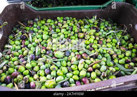 Close up of harvested olives in olive oil mill in Greece. - Stock Photo