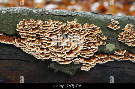 Mushrooms on a tree trunk in the autumn forest - Stock Photo