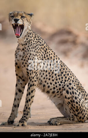 Cheetah yawning with mouth open in Mabuasehube GR, Botswana - Stock Photo